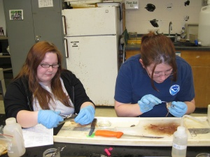 Amanda and CJ dissecting alewife.